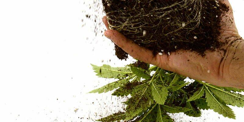Growing cannabis in soil