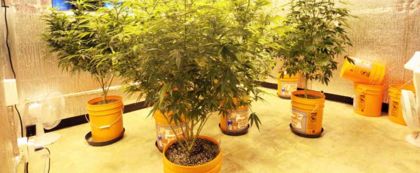 Growing and Manufacturing Marijuana