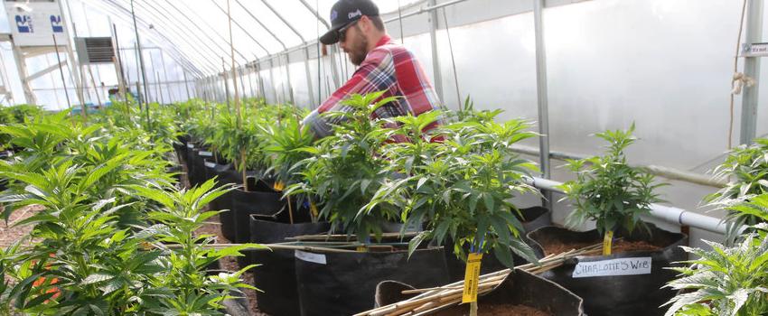 Growing_and_Manufacture_Marijuana