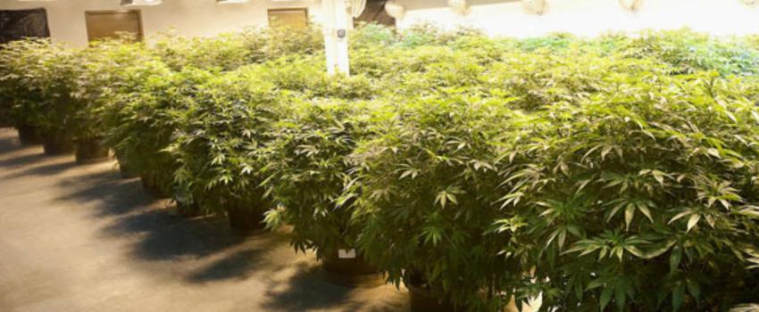Growing_and_Manufacturing_Marijuana