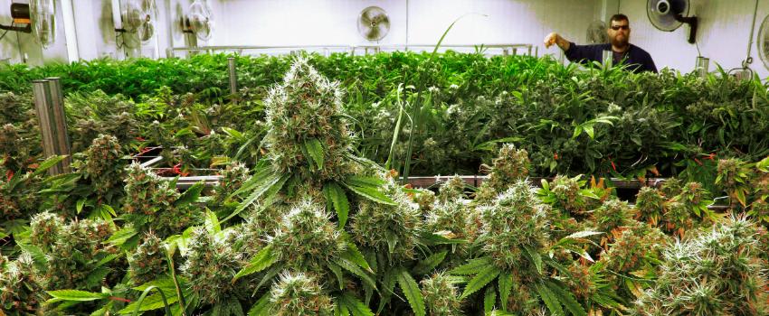 GrowingandManufacturingMarijuana