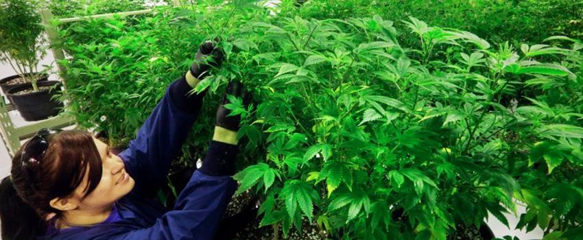 GrowingandManufacturingMarijuana_001