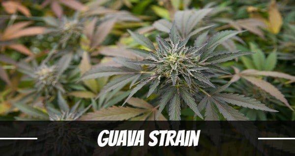 Guava Strain