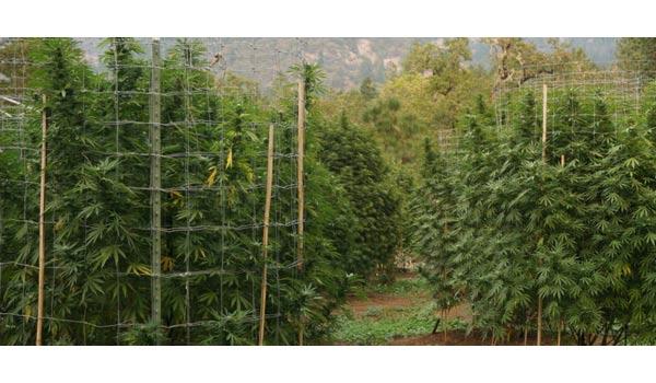 Guerrilla growing hiding plants