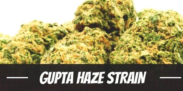 Gupta Haze Strain