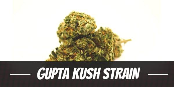 Gupta Kush Strain