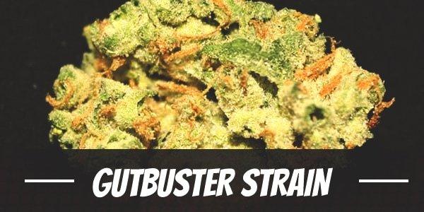 Gutbuster Strain