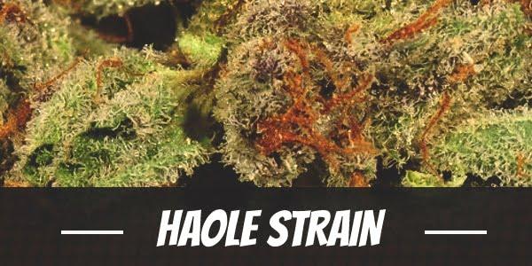 Haole Strain
