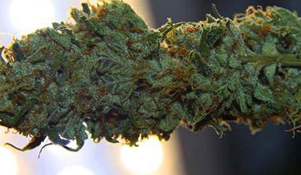 Harvesting and curing the marijuana plant