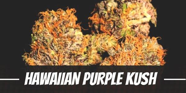 Hawaiian Purple Kush