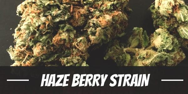 Haze Berry Strain