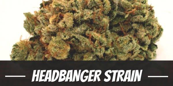 Headbanger Strain