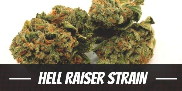 Hell Raiser Strain