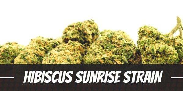 Hibiscus Sunrise Strain