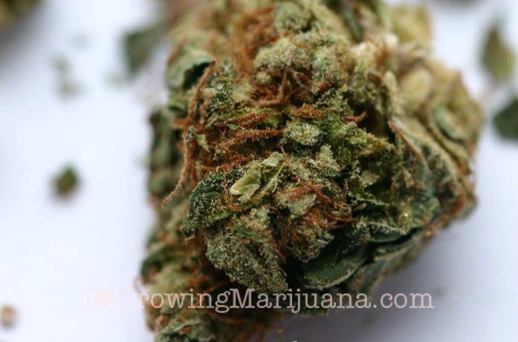 How to cure marijuana plants