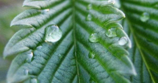 How-To-Foliar-Feed-Your-Marijuana-Plants-1