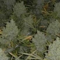 How To Grow Huge Marijuana Buds