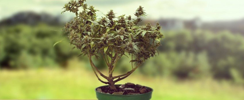 How to Get More Buds Using LST