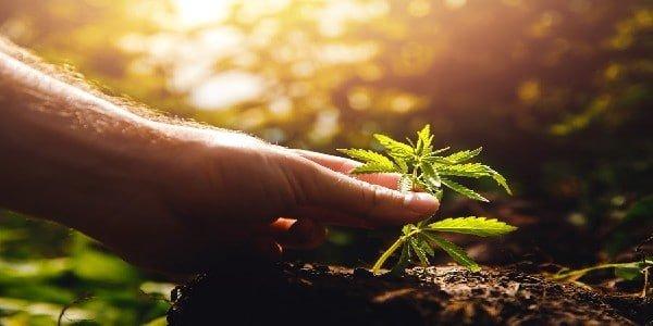 How to Grow Potent Autoflowers - Plant Health