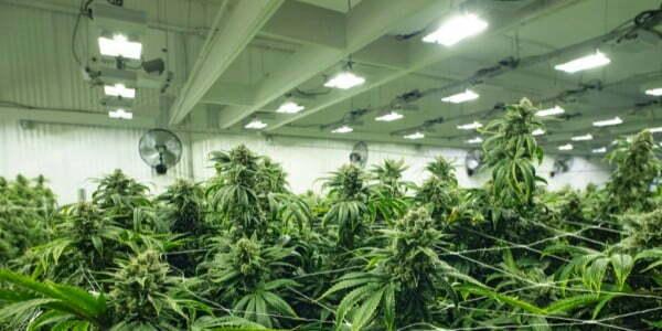 How to fix light burn on marijuana plants