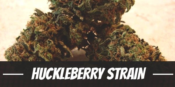 Huckleberry Strain