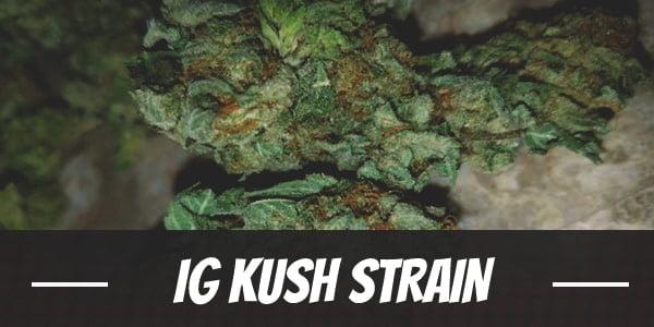 IG Kush Strain