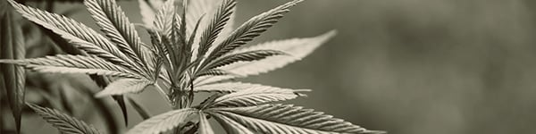 Sulphur Defficiencies On Marijuana Plants