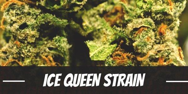 Ice Queen Strain
