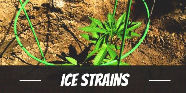 Ice Strain