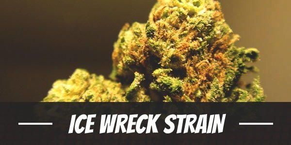 Ice Wreck Strain