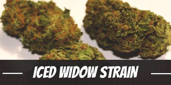 Iced Widow Strain