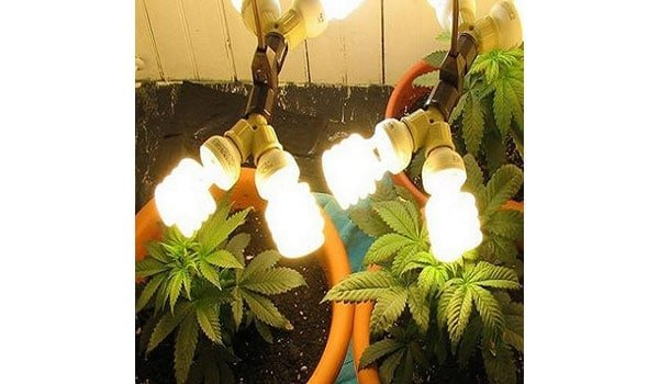Improper lighting marijuana seedlings