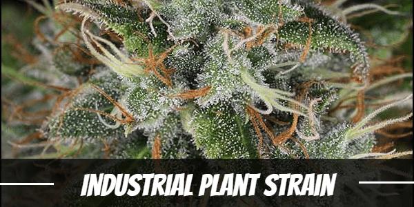 Industrial Plant Strain