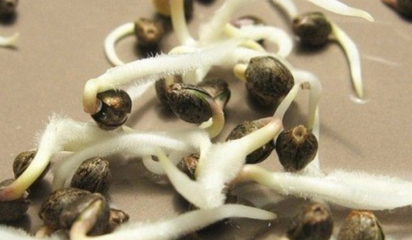 germination helps sprout seeds