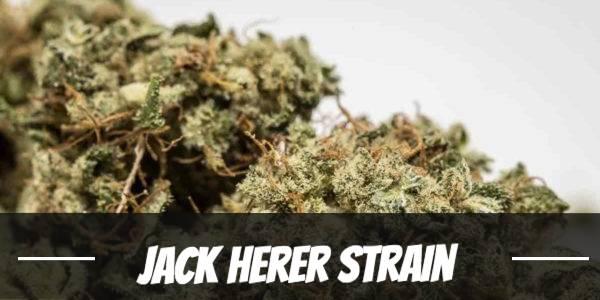 Jack Herer Strain