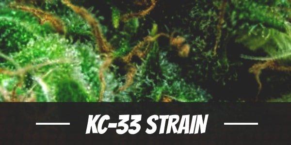 KC-33 Strain