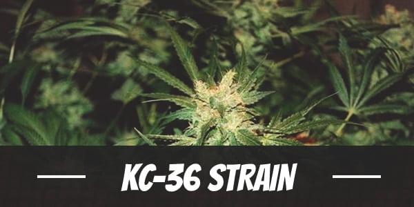 KC-36 Strain
