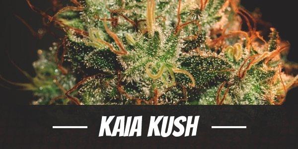 Kaia Kush