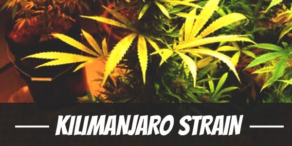 Kilimanjaro Strain