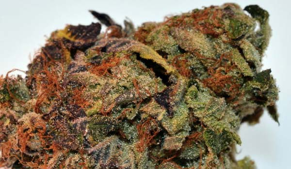 King Louis Xiii Cannabis Strain Information Review Ilgm