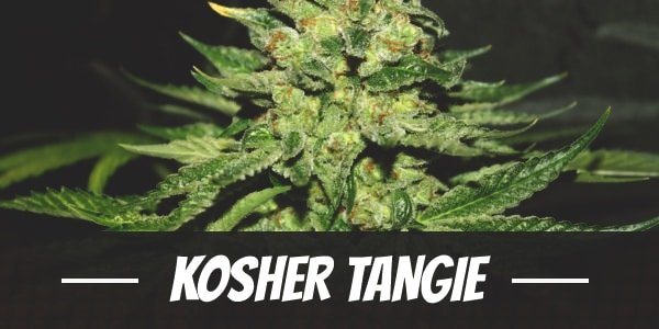 Kosher Tangie