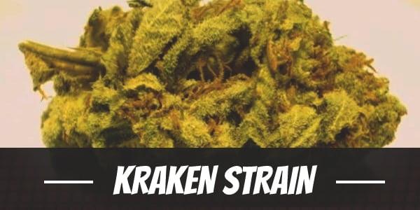 Kraken Strain