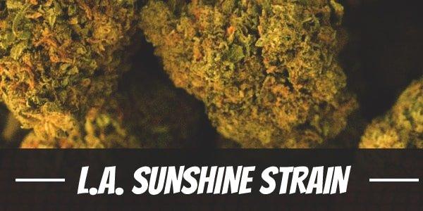 L.A. Sunshine Strain