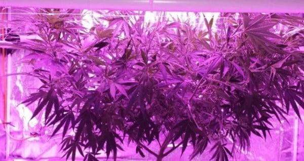 LED grow light cannabis
