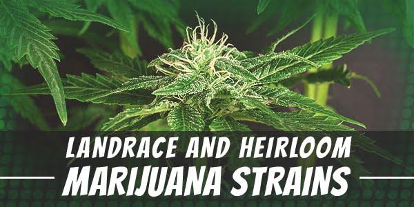 Landrace and Heirloom Marijuana Strains