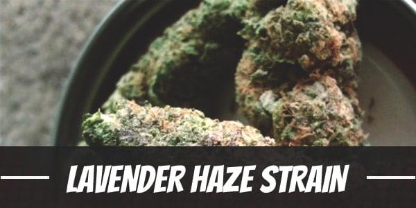 Lavender Haze Strain