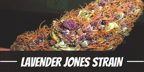 Lavender Jones Strain