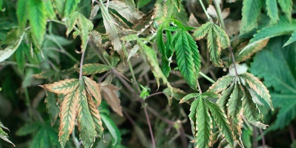 Leaf symptoms of a cannabis plant with calcium deficiency