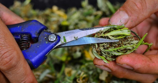 Legal requirements to work as a trimmer or budtender in Massachusetts