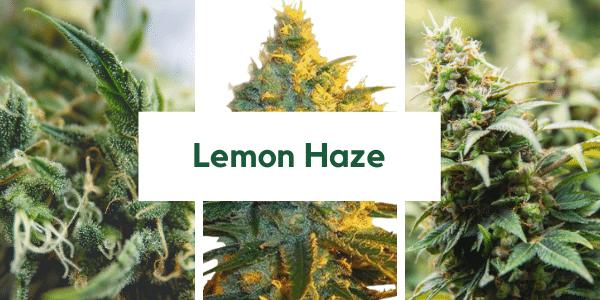 Lemon-Haze-Strain